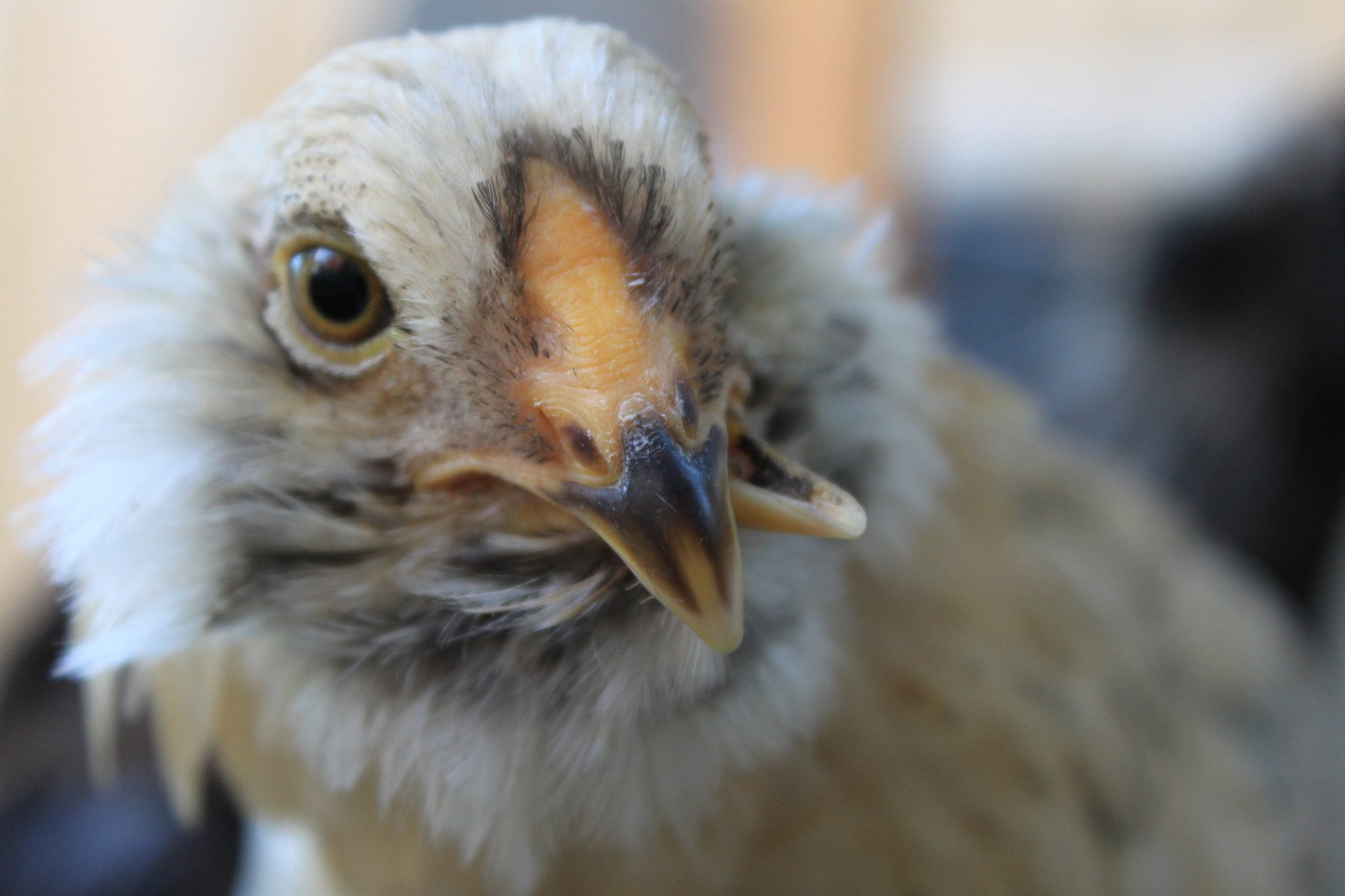 Caring For Cross Beaked And Other Special Needs Chickens ...