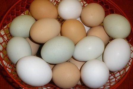 Interesting Facts About Chicken Eggs | BackYard Chickens ...