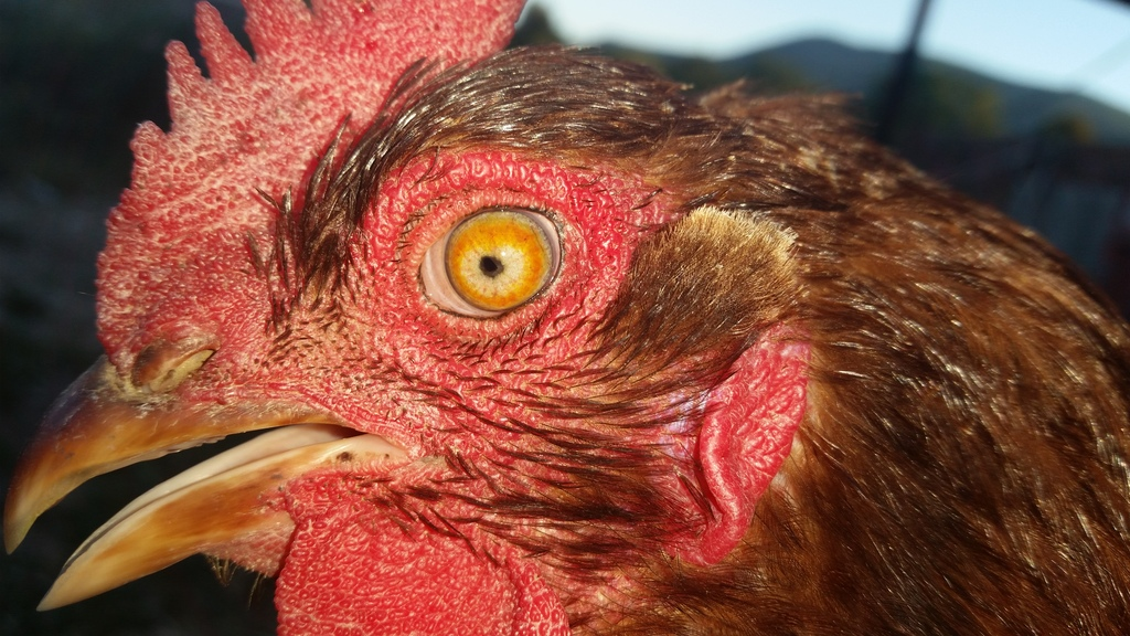 The Great Big Giant Marek S Disease Faq Backyard Chickens Learn How To Raise Chickens