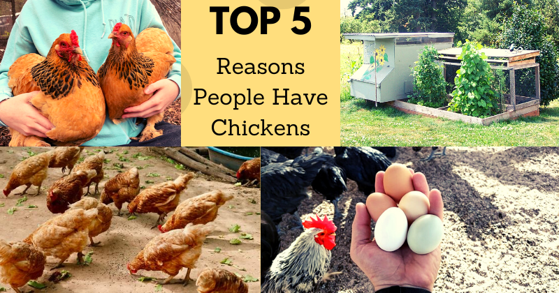 Top 5 Reasons People Have Chickens | BackYard Chickens ...