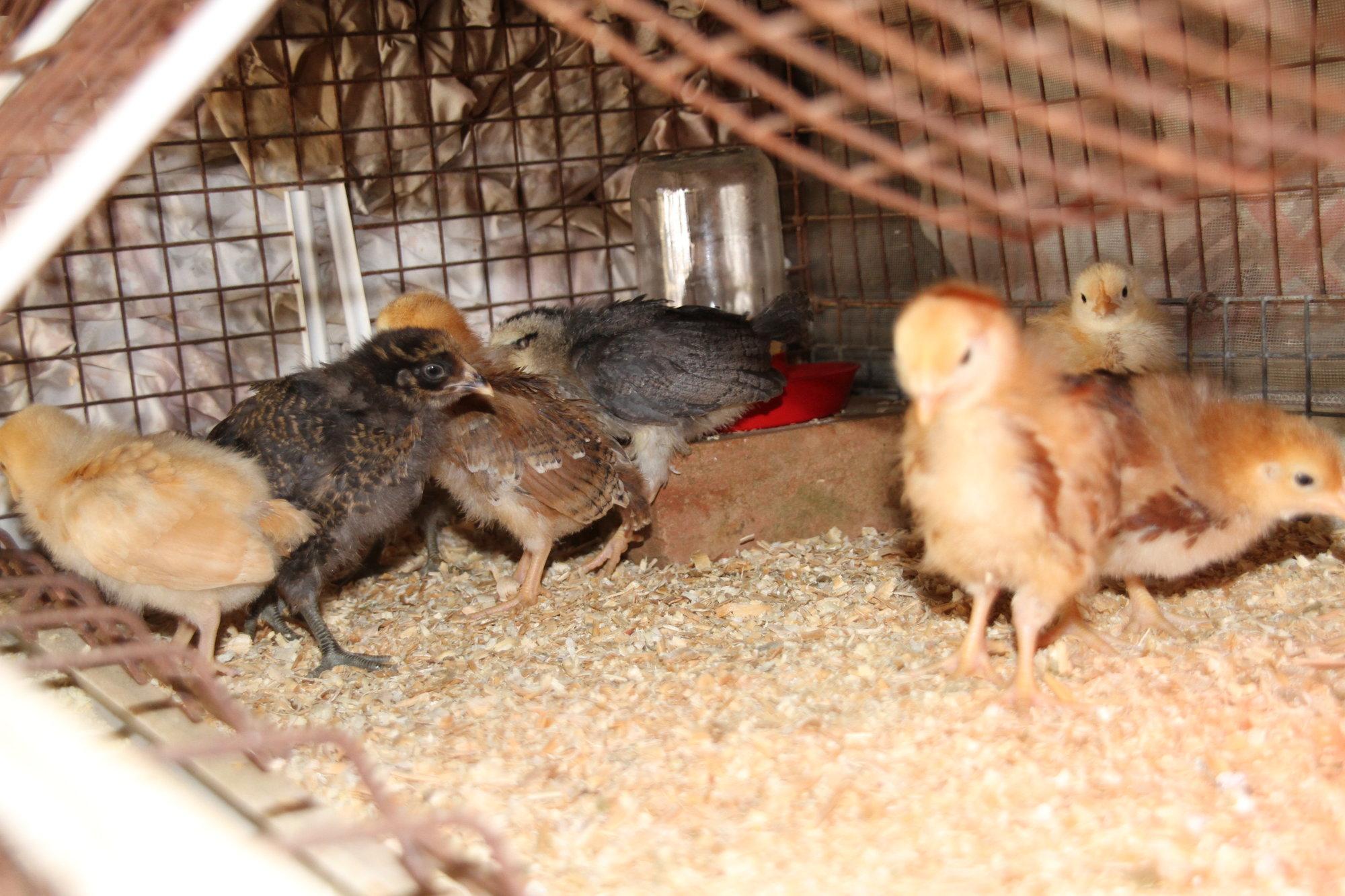 032318_Chickens_06.JPG