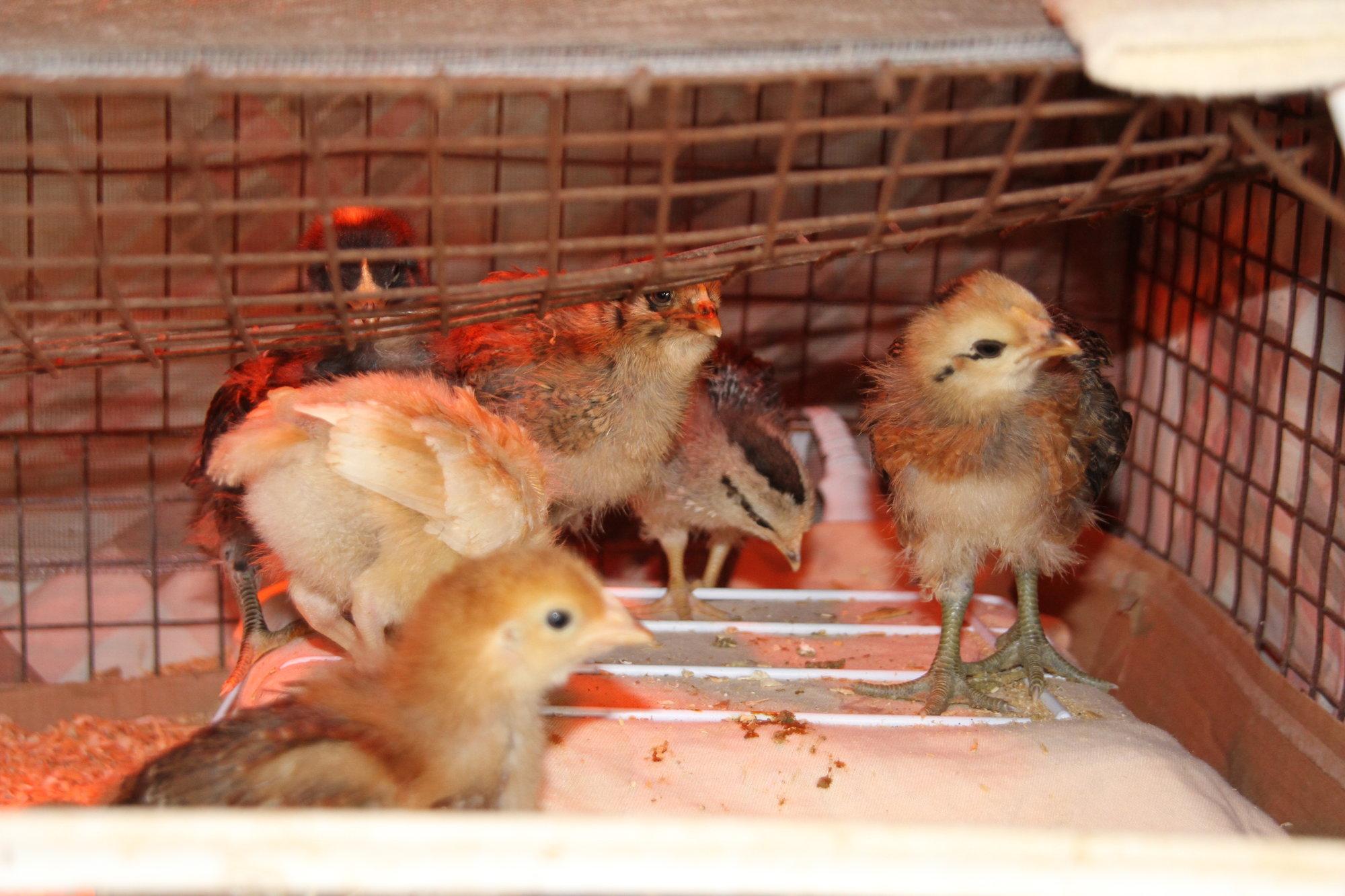 032318_Chickens_07.JPG