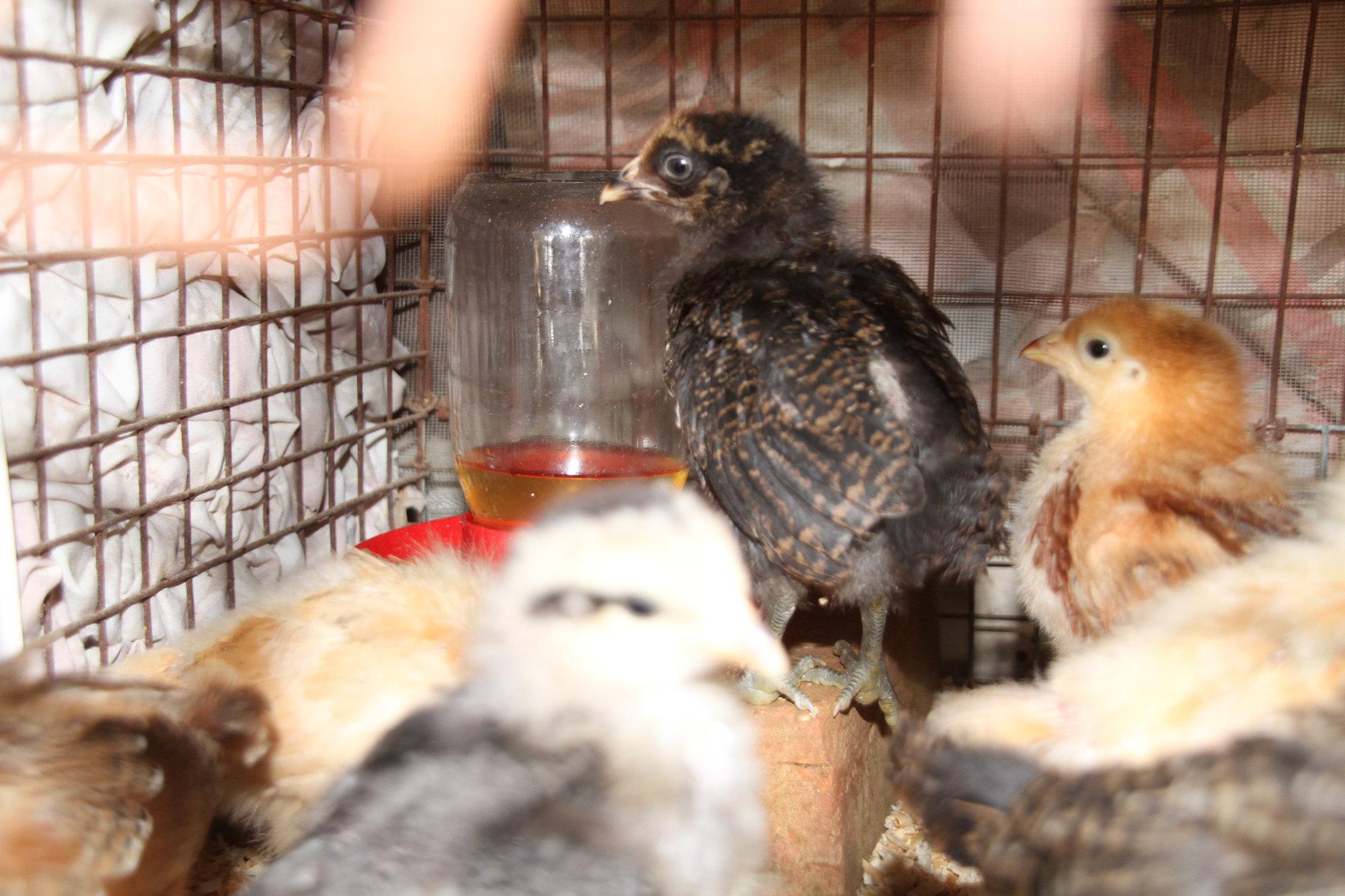 032318_Chickens_16.JPG