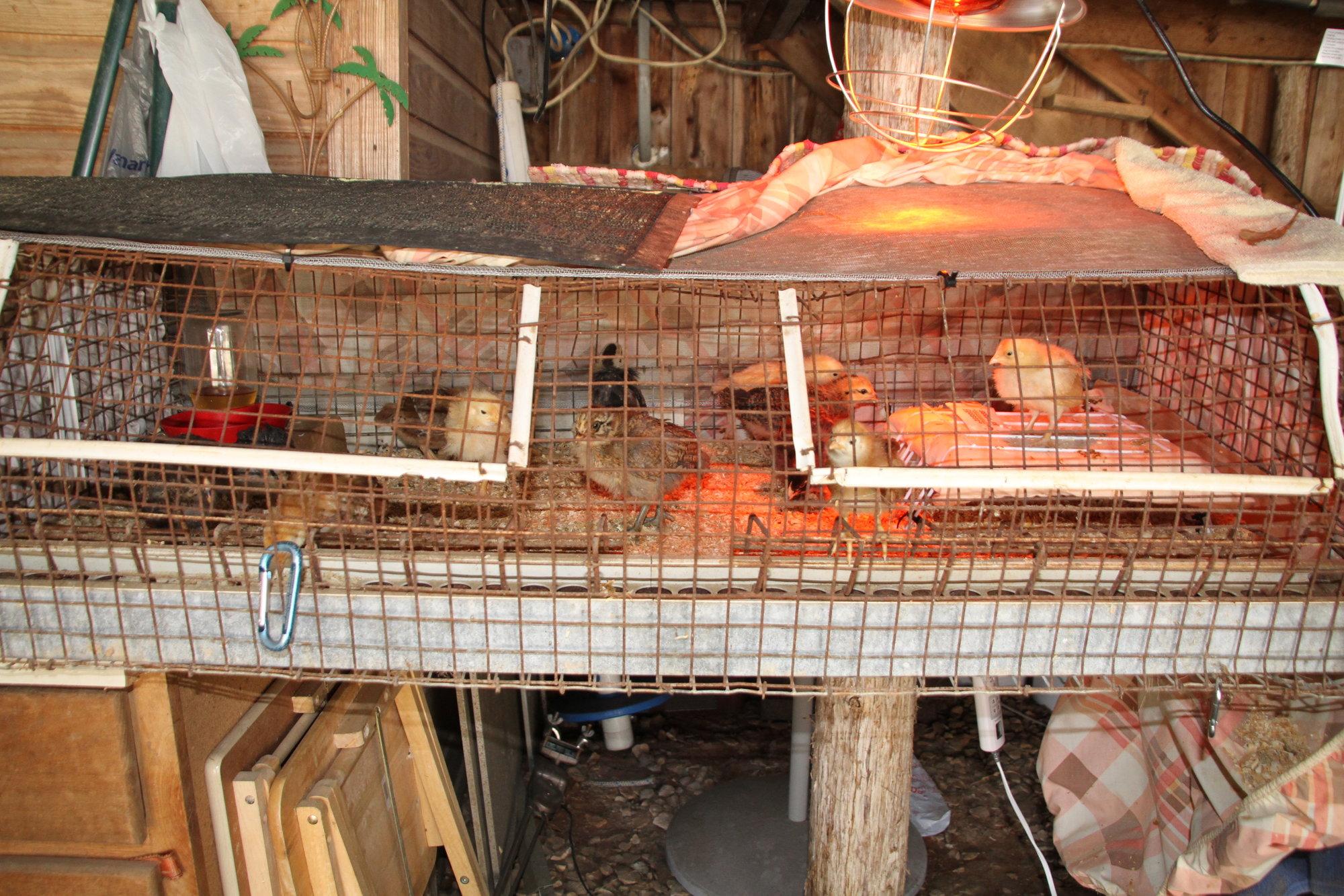 032318_Chickens_19.JPG