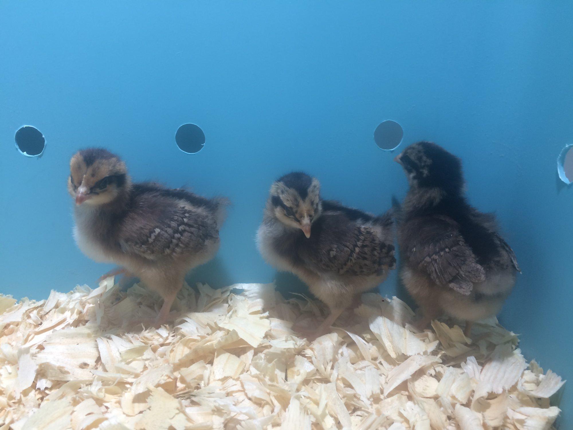 1 week chicks 1.JPG