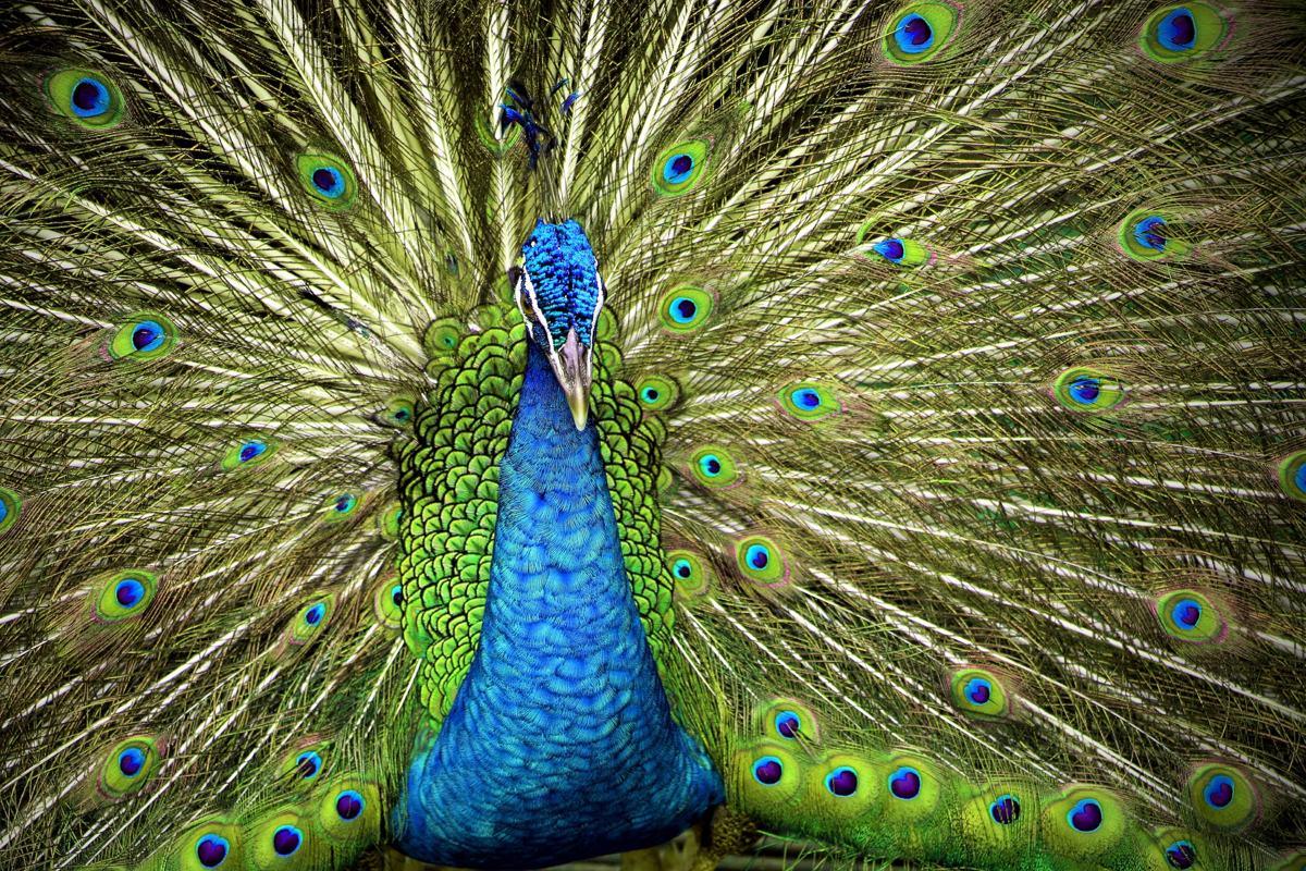 1200-495184586-indian-blue-peafowl.jpg