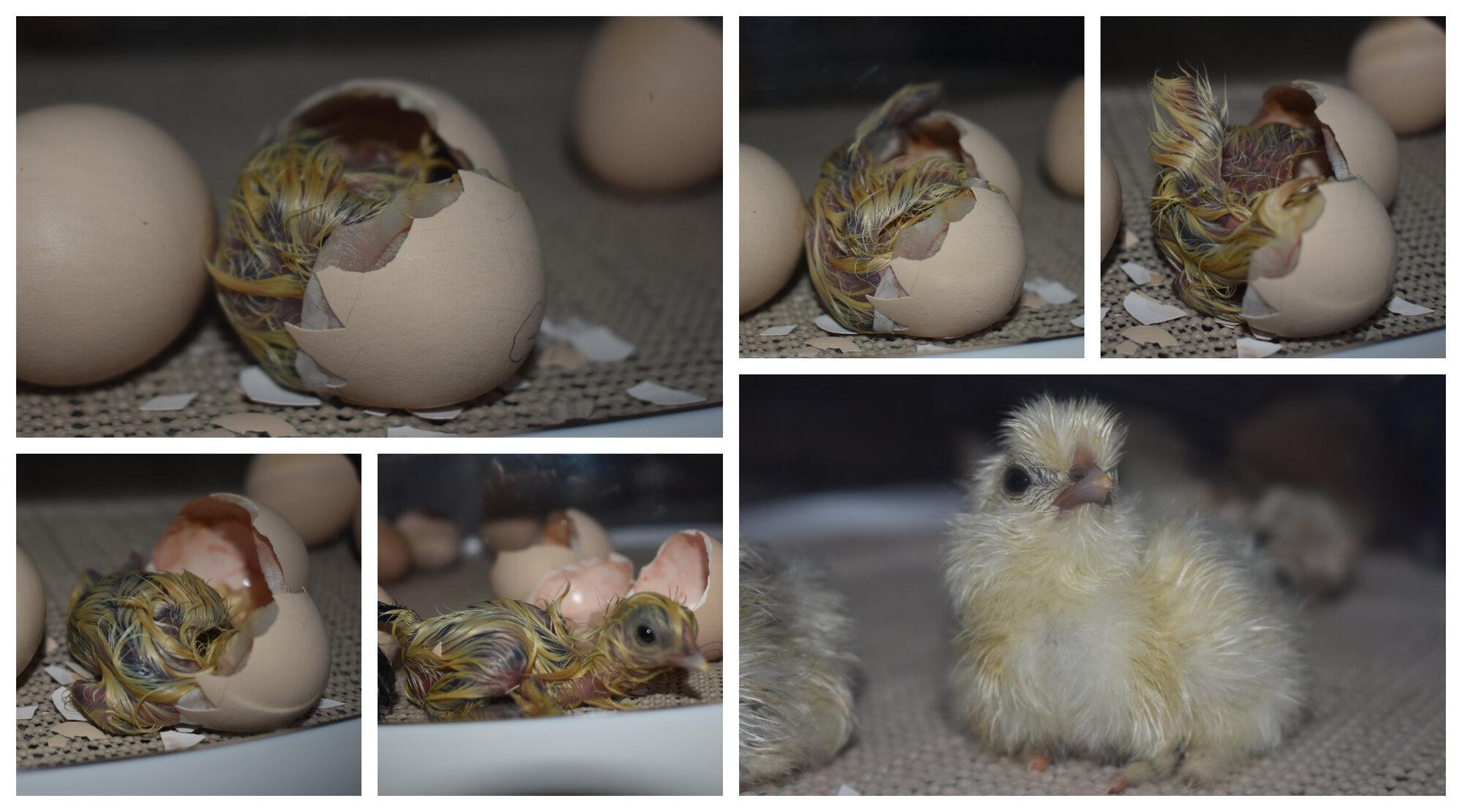 2-18-20 Silkie Hatching (1).jpg