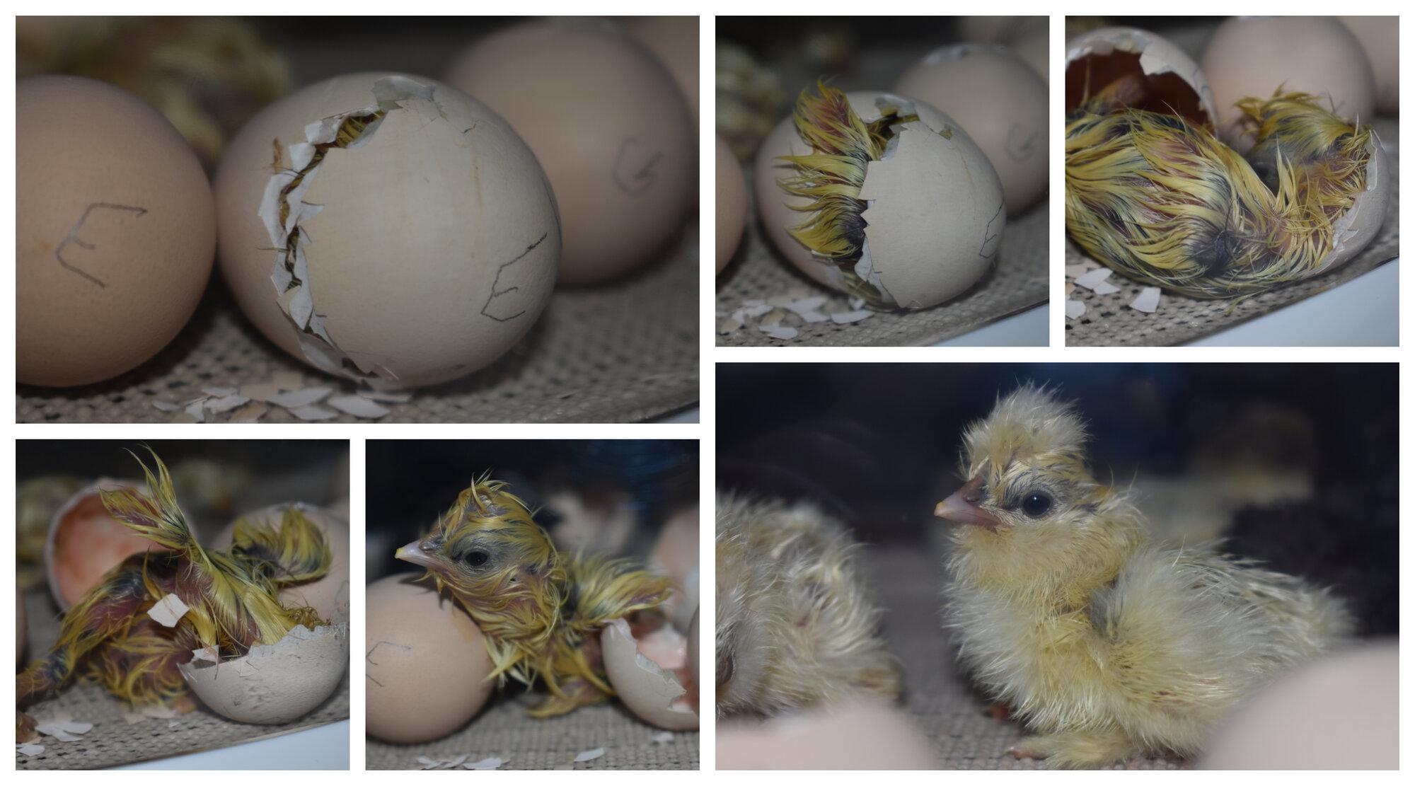2-18-20 Silkie Hatching (2).jpg