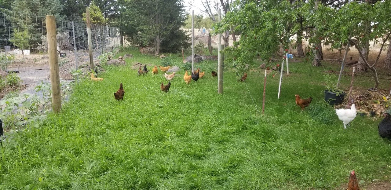 23 Happy Chickens bravely wandering in new pen 7.11.2020.jpg