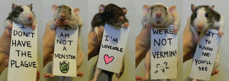 25 best Rat things images on Pinterest.jpg