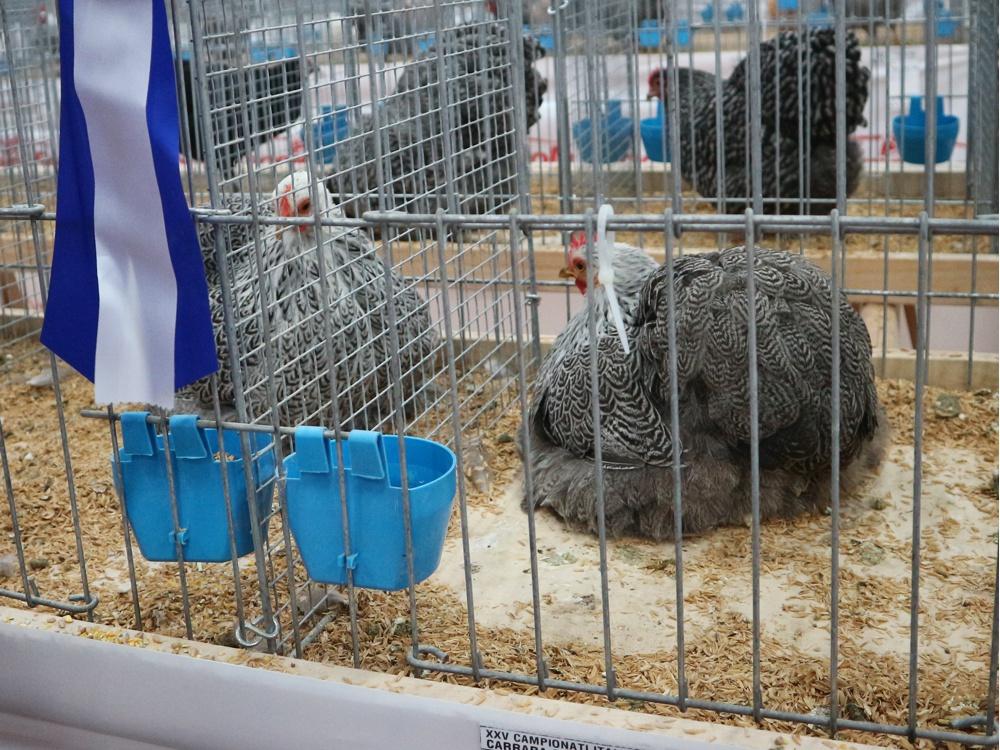 (256)Bantam Cocina silver penciled best hen color-left.jpg