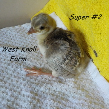 5-23-17 Super chick #2.jpg