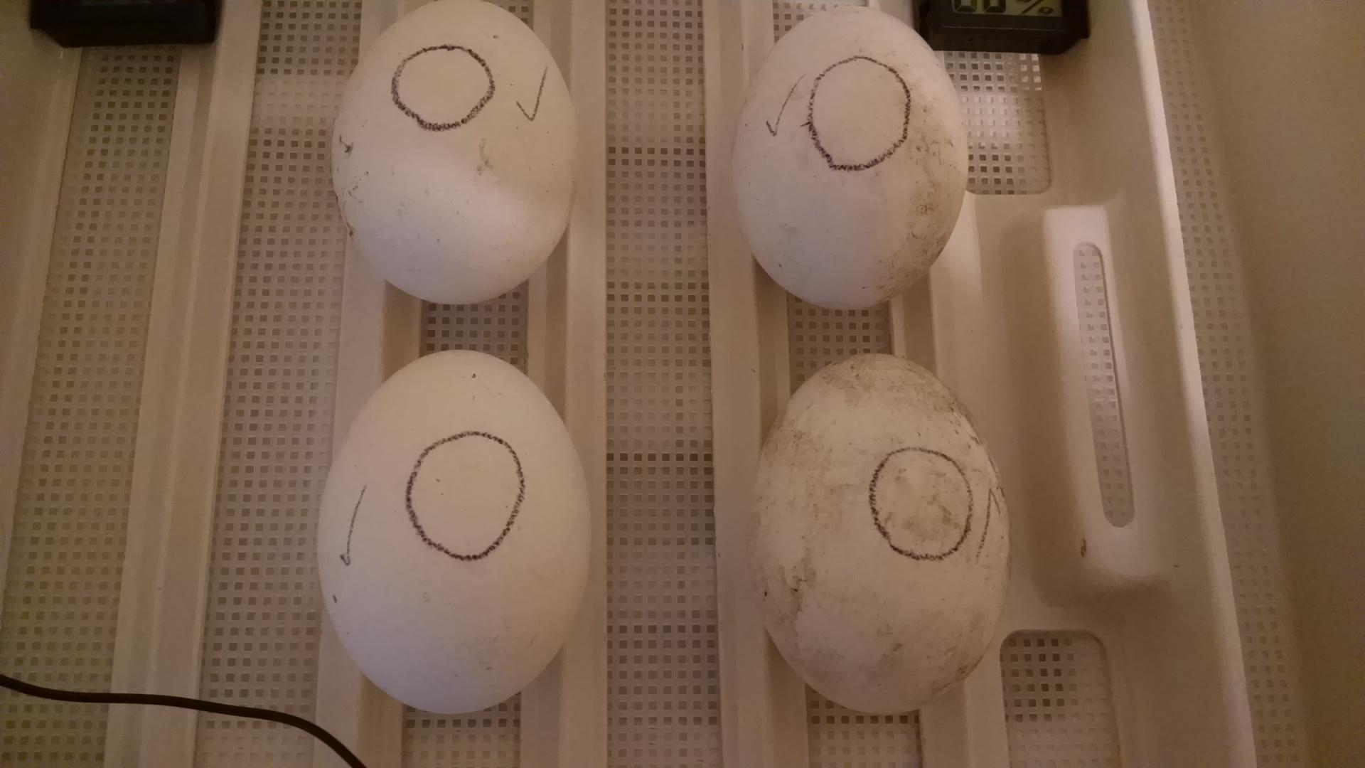 5-27-19 The 4 fertile eggs.jpg