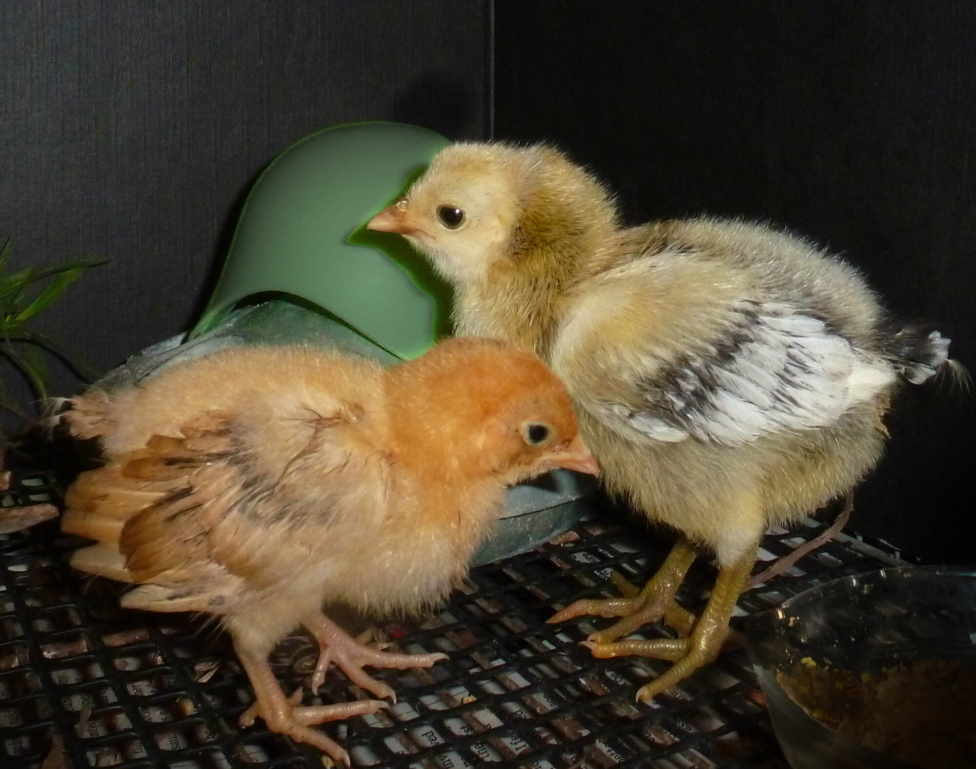 6-21 brooder chicks_.jpg
