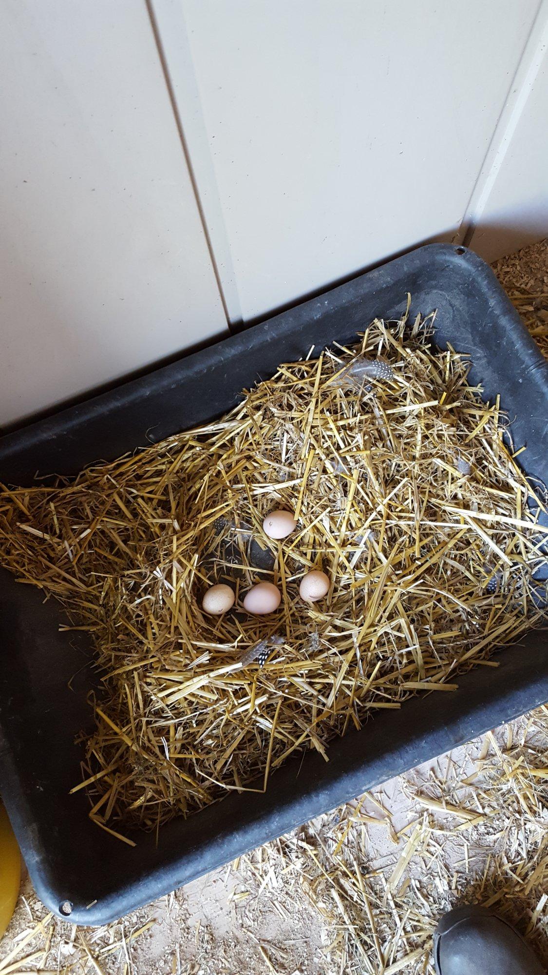 9.16.16 coop nest.jpg