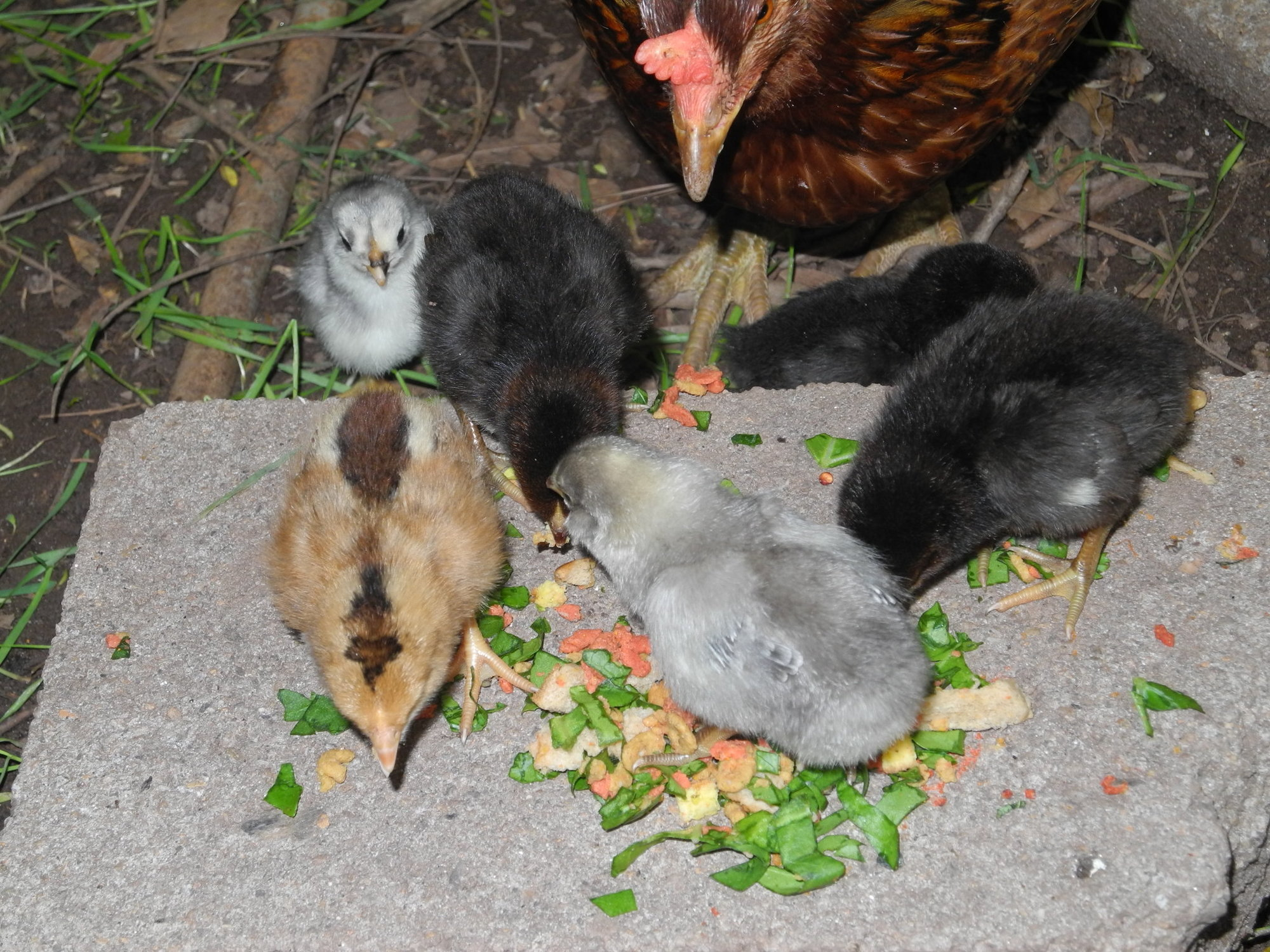 Aby with chicks.JPG