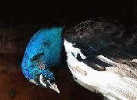 aile noire.jpg