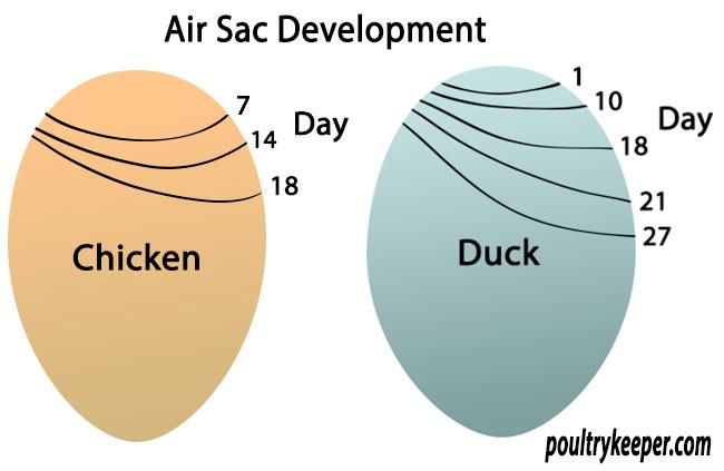 Air-Sac-Development.jpg