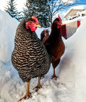 AOE-Chicken-in-Snow2.jpg