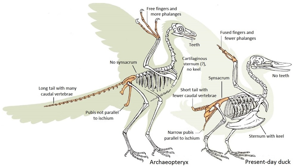 Archaeopteryx-vs-present-day-duck.jpg