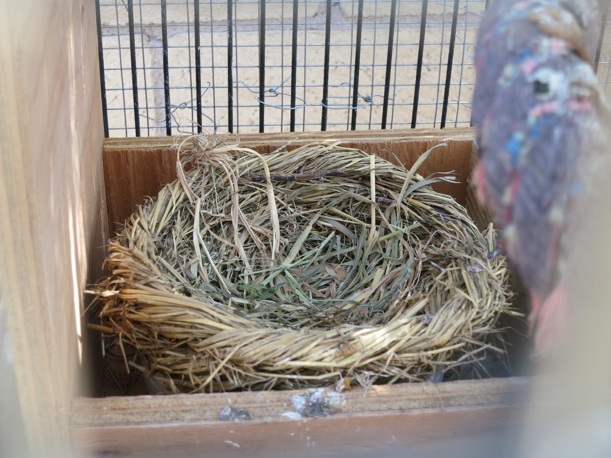 Barbary Dove Nest.JPG