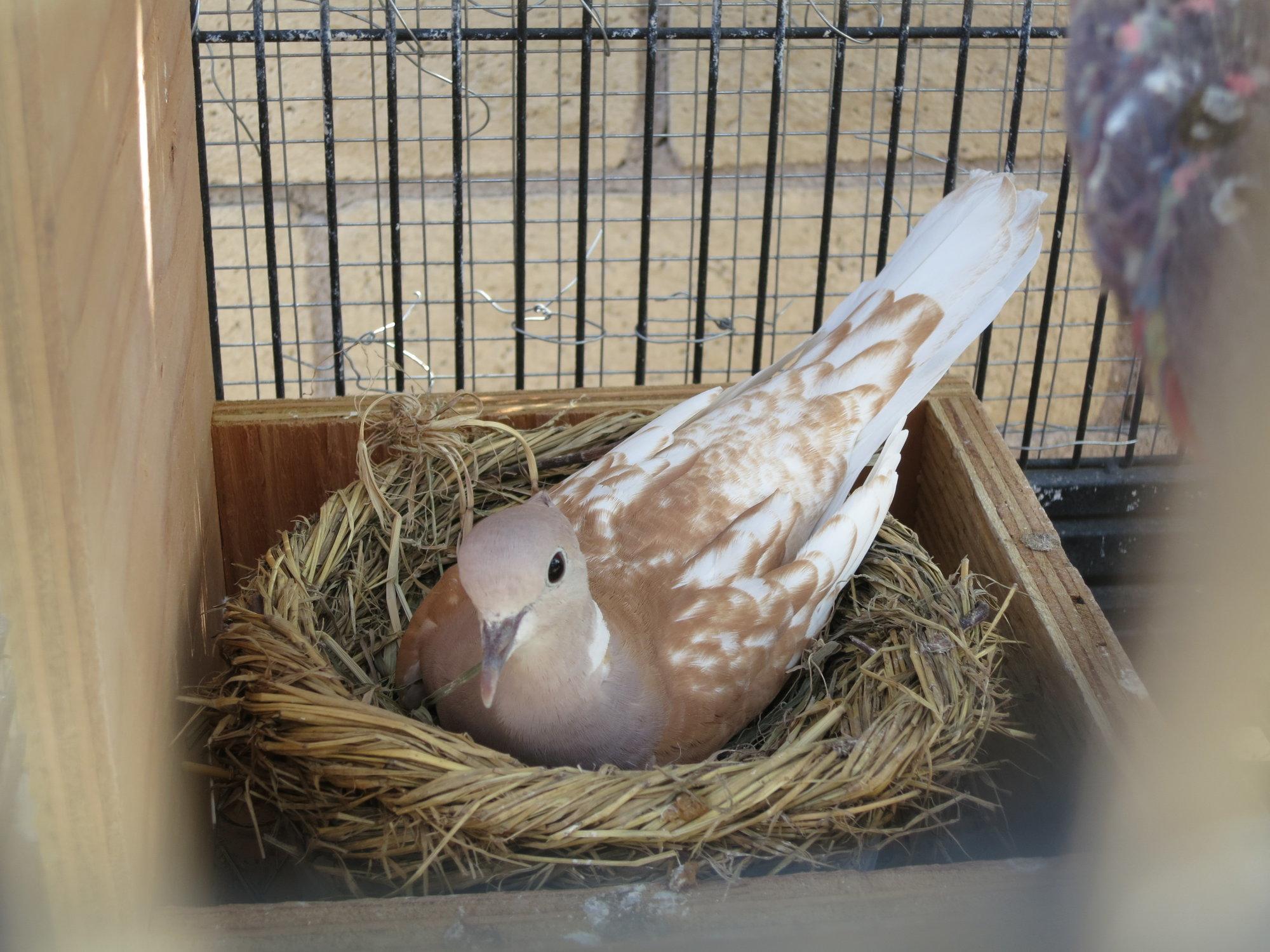 Barbary Dove Sitting on Nest.JPG