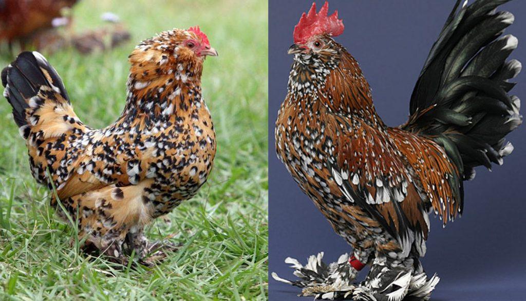 belgian-bearded-duccle-chicken-1-1024x585.jpg