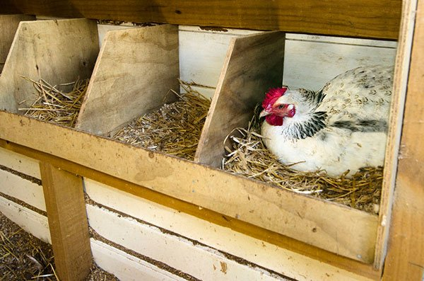 best-chicken-coop-bedding-chicken-in-nesting-box-laying-eggs.jpg
