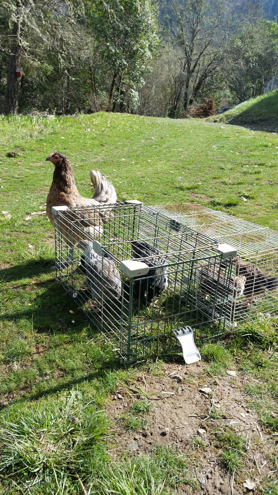 broody,her chicks, grange chicks sunning.jpg