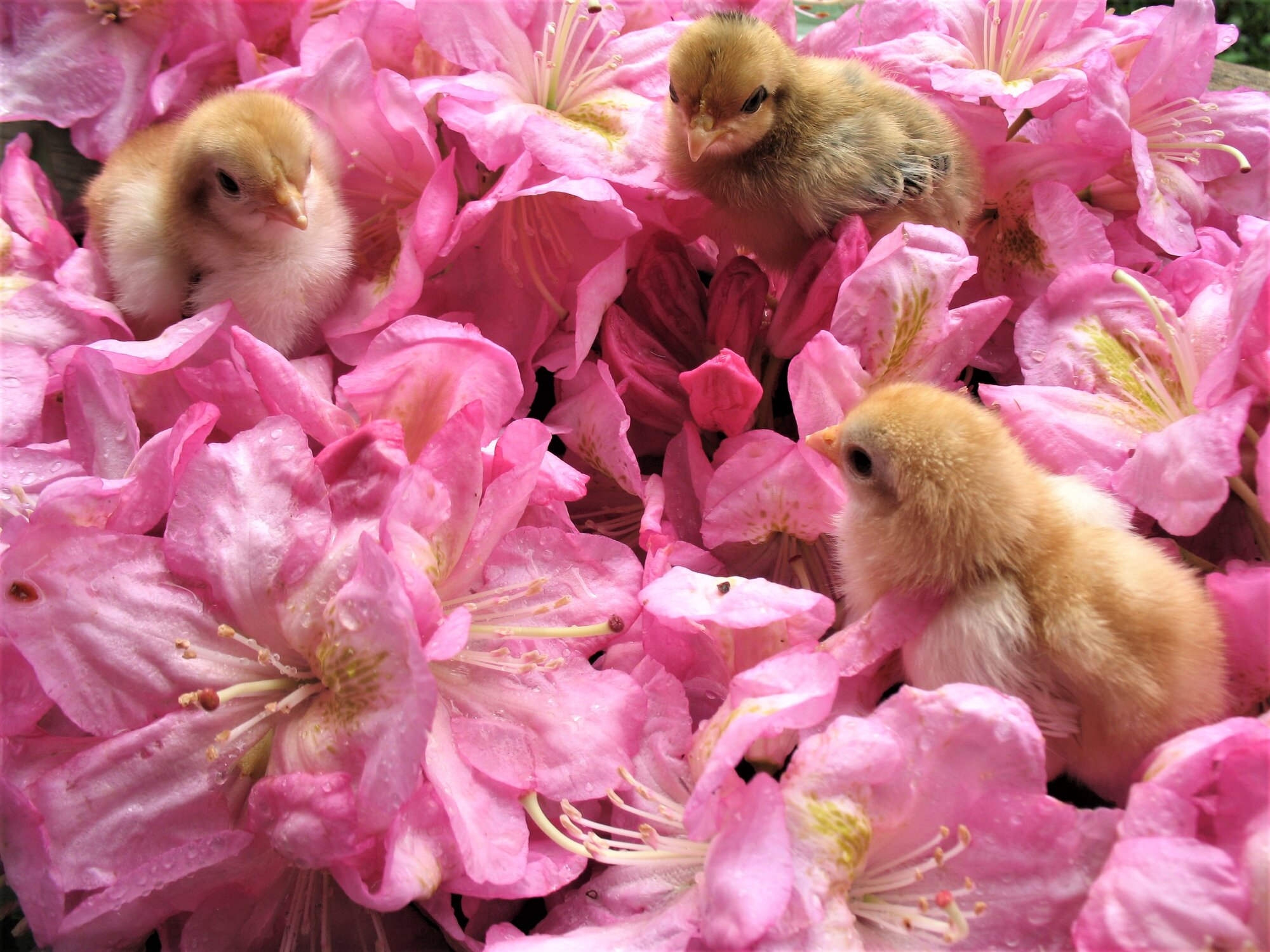 Buff Chicks.jpg