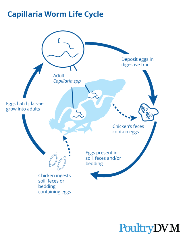 capillaria-worm-lifecycle-poultrydvm.png