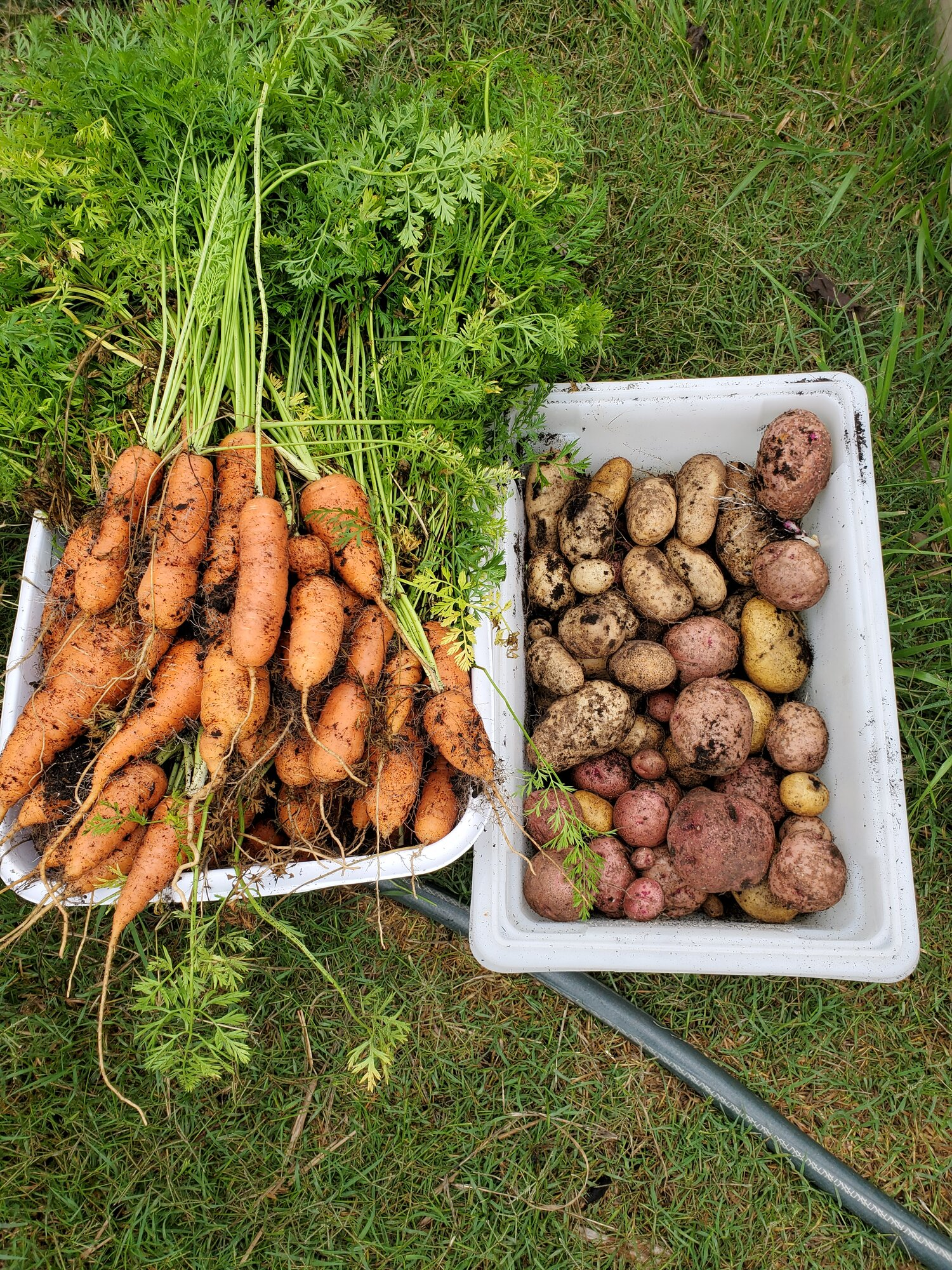 carrots & potatoes.jpg