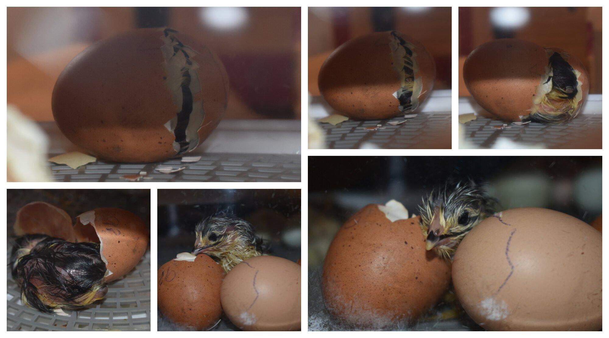 Chick Hatching 3-2-19.jpg