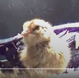 chick.png