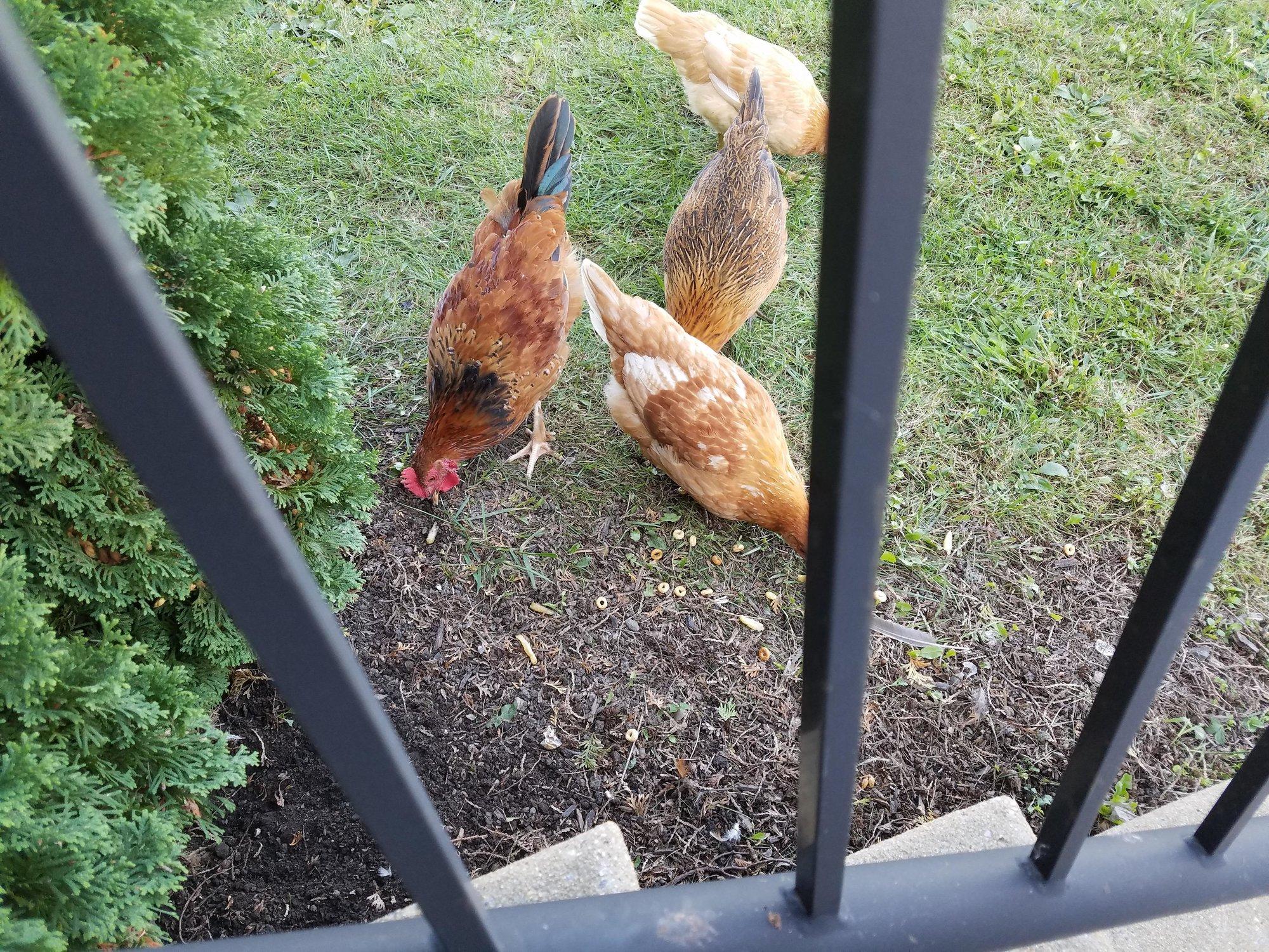 Chick1.JPG