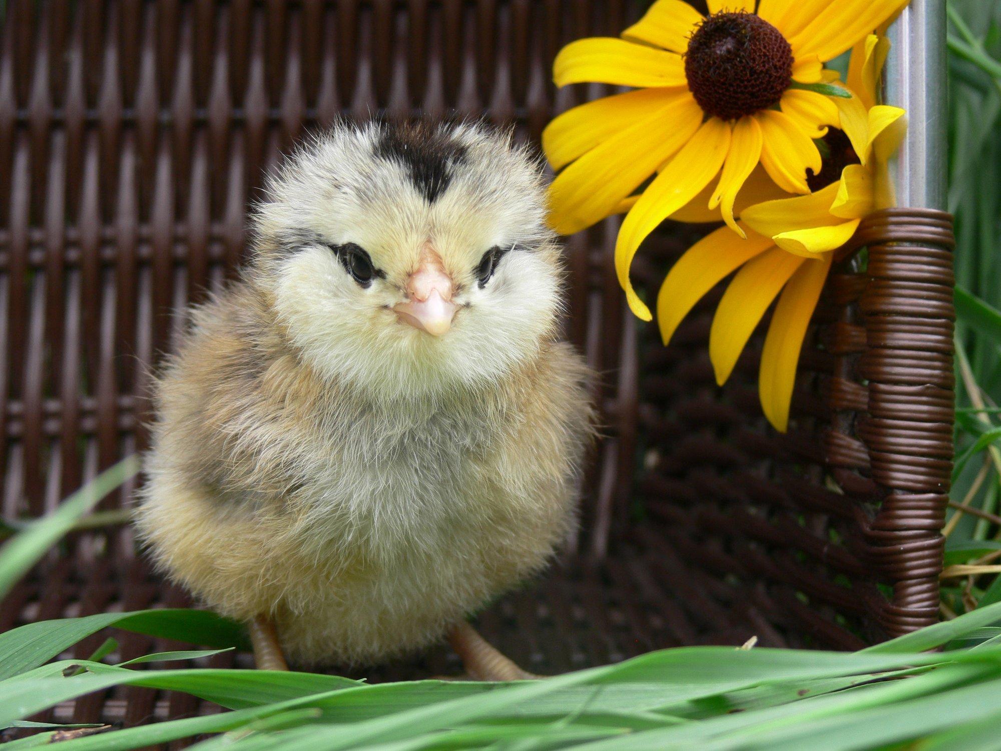 Chick2016.JPG
