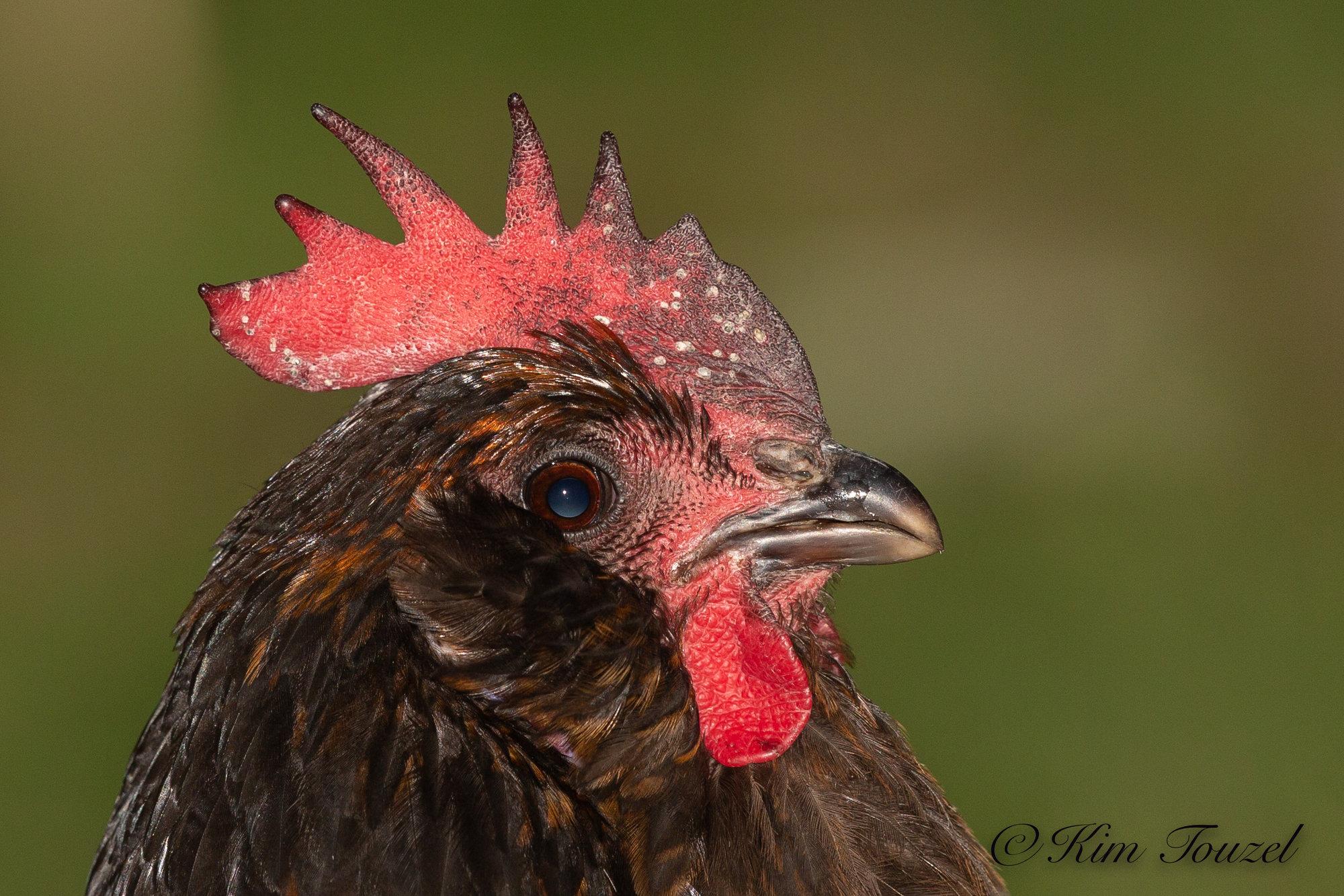 Chicken -3185.jpg