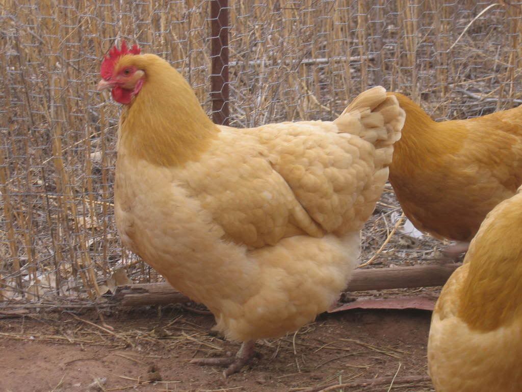chicken-breeds-buff-orpington-with-10-best-images-about-fav-chicken-breeds-on-pinterest.jpg