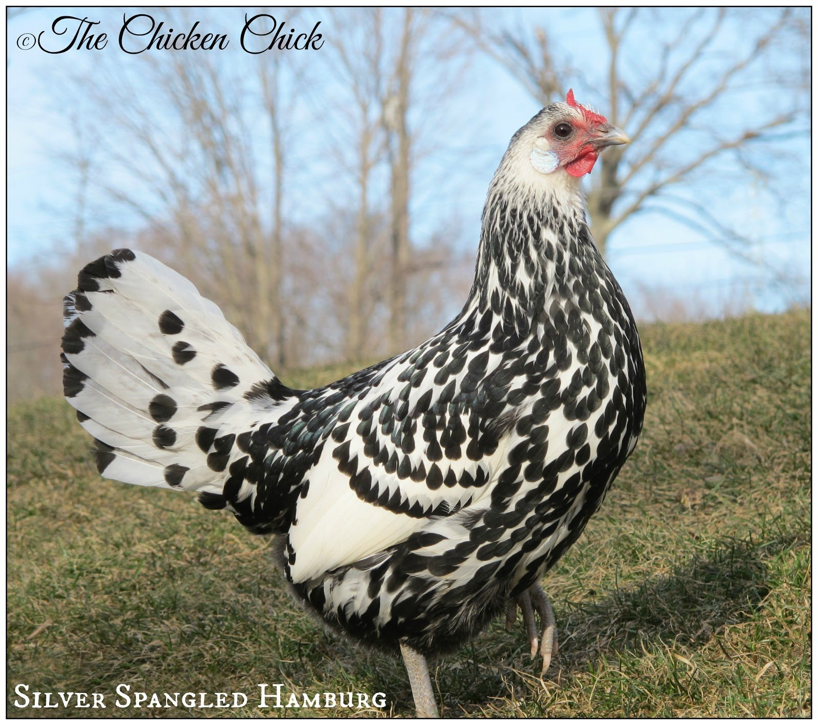 chicken-breeds-hamburg-with-the-chicken-chick-tips-for-selecting-breeds-58e48f865b953.jpg
