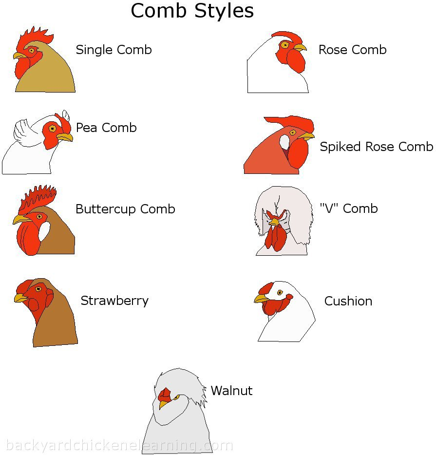 chicken-breeds-with-no-combs-identify-your-chicken-by-its-comb-type.jpg