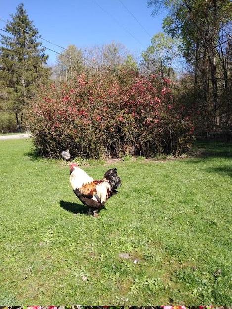 chicken bush.jpg
