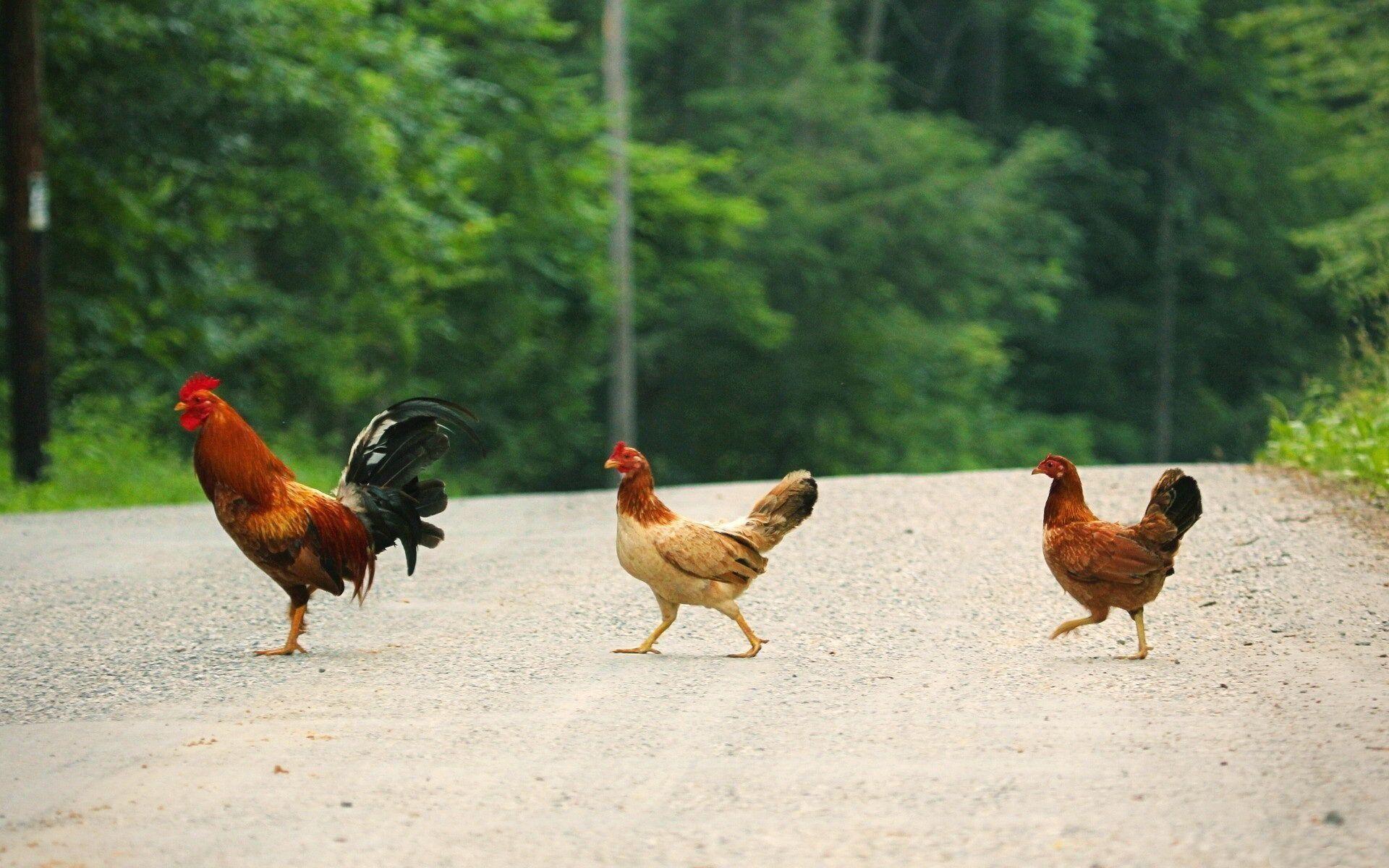 Chicken Crossing.jpg