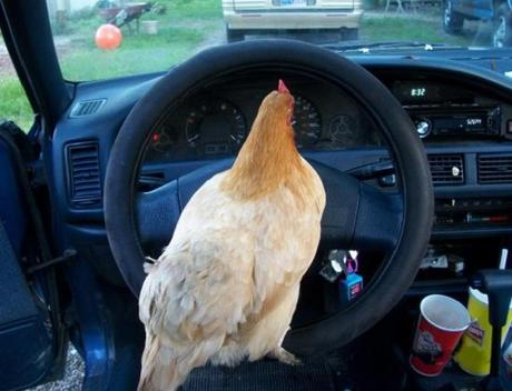 chicken driving car.jpg