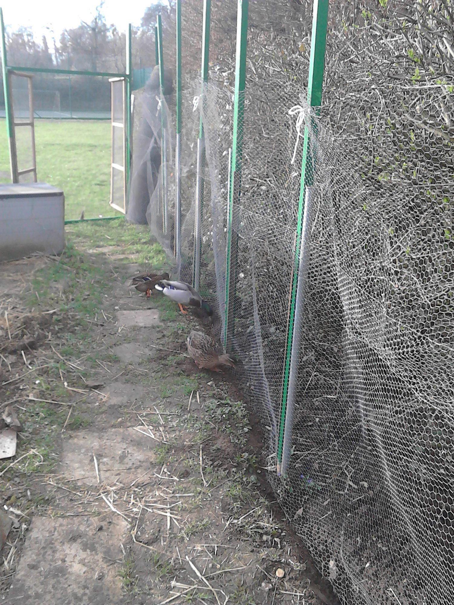 chicken enclosure Ducks helping with the trench digging _PumpjackPiddlewick.jpg
