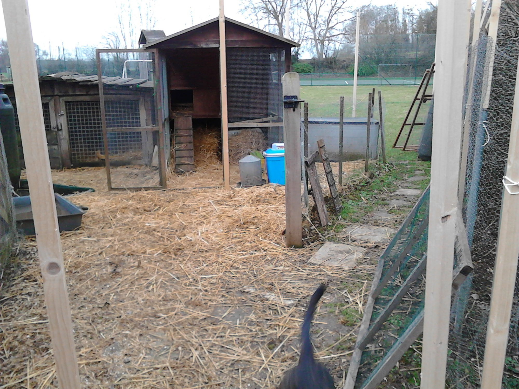 chicken enclosurethe old fence in place and new wall going up _PumpjackPiddlewick.jpg