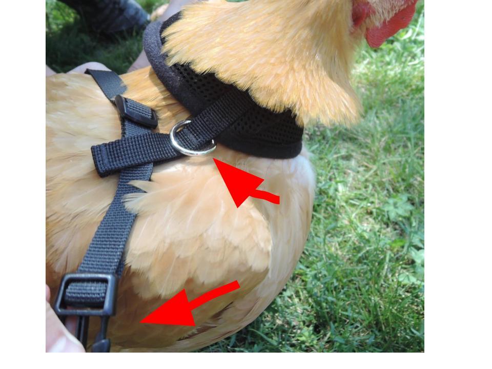 Chicken harness.jpg