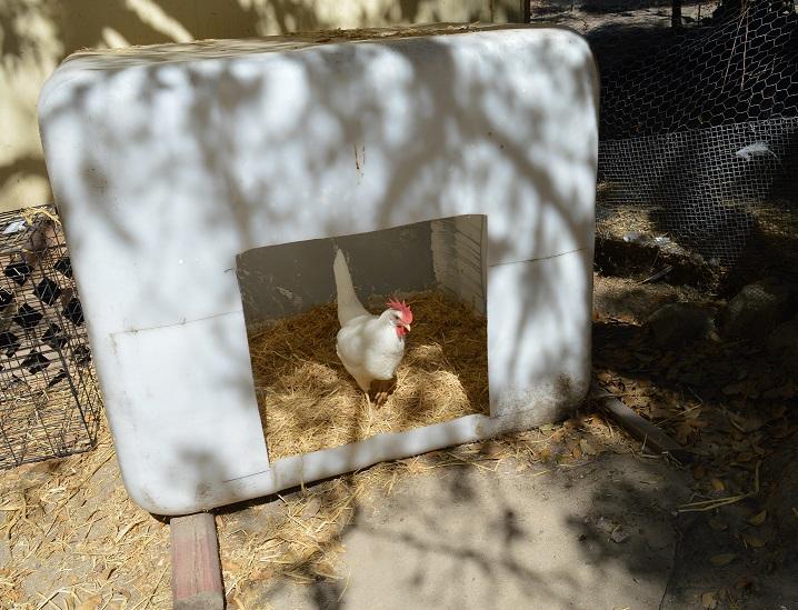 chicken playpen.jpg
