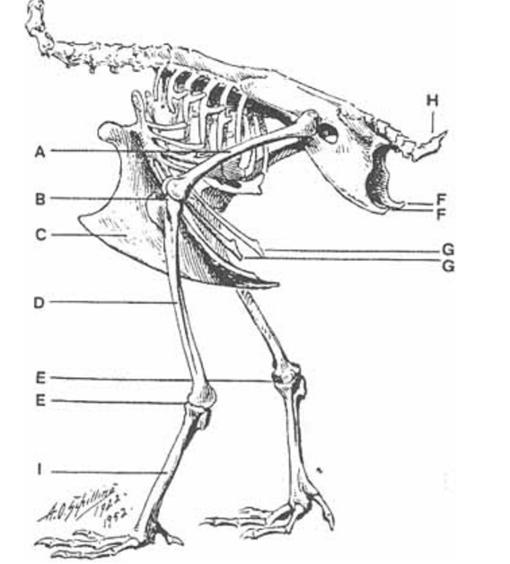 Chicken pubic bones.jpg