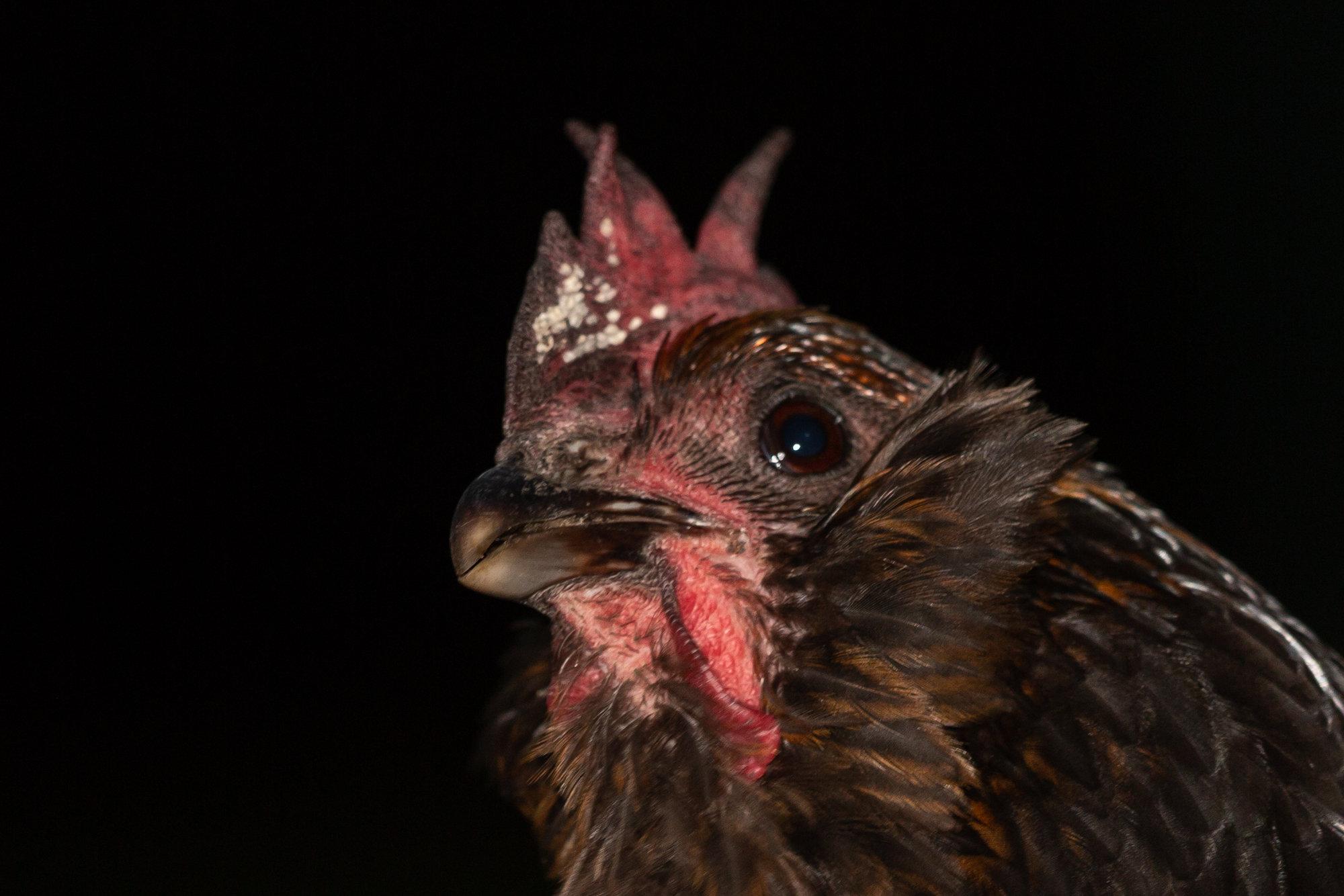 Chicken ? Scale-3181.jpg