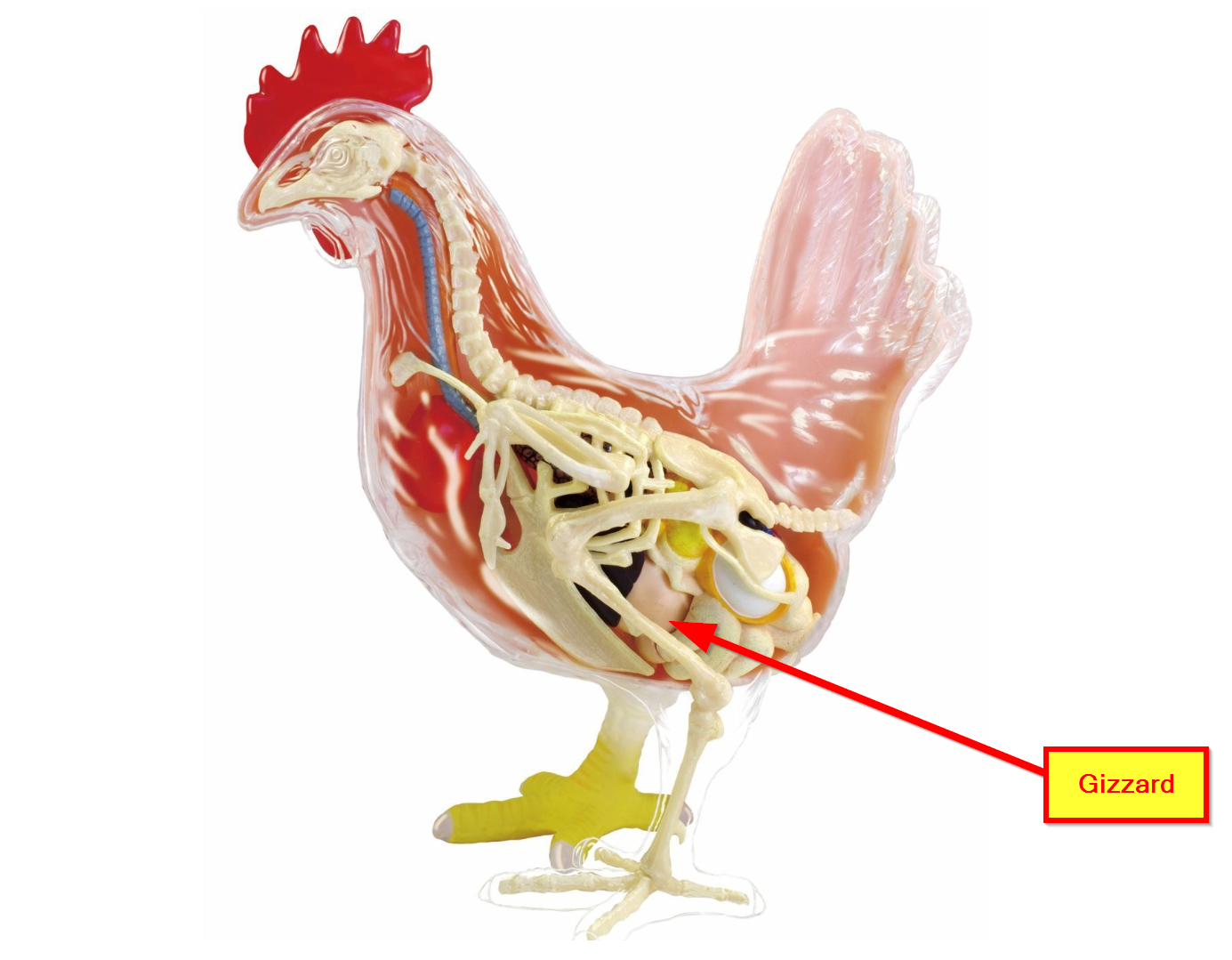 chicken skeleton and gizzard 4 d.png